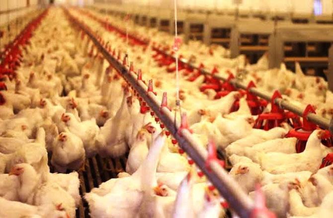 Poultry Farm - Pic : INN