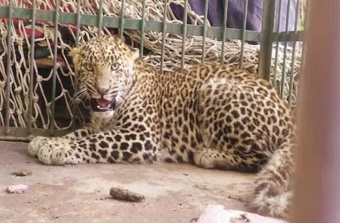 16 leopards have been spotted in Kashmir in a week.Picture:PTI